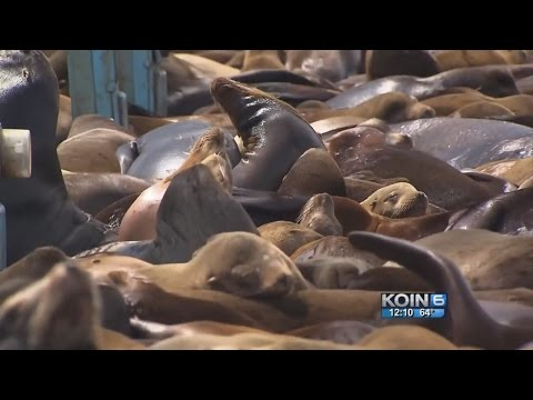 'Fake Willy' arrives to scare Astoria sea lions