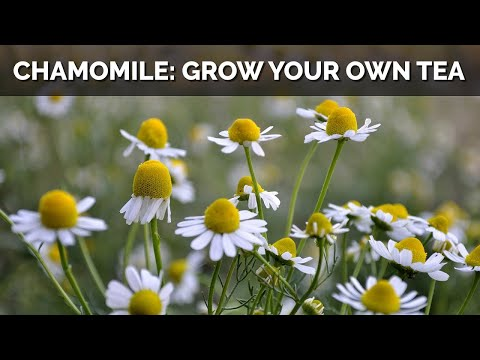 How to Grow Chamomile From Seed (And Make Your Own Tea)