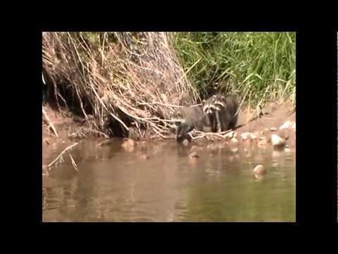 Raccoon Drowns
