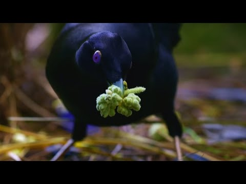 Sneaky Jewel-Thief Birds | Spy In The Wild | BBC Earth