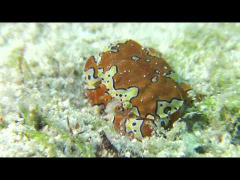 Gaudy Clown Crab in Grand Cayman