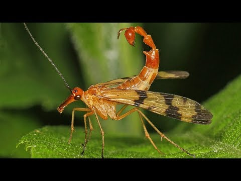 Scorpion Fly - Animal of the Week