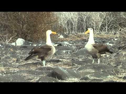 Waved albatross mating ritual