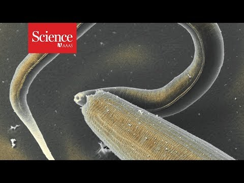 These nematodes may be cannibals, but they look out for their family