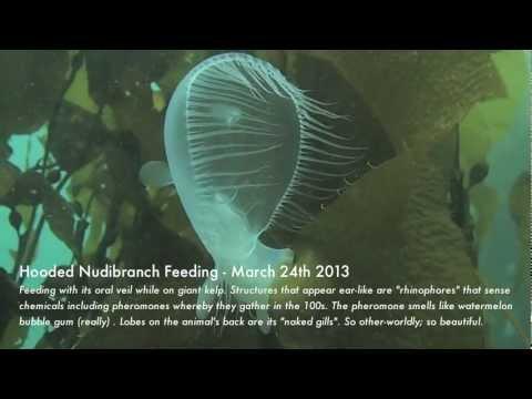 Hooded Nudibranch Feeding