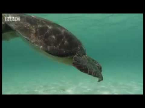 Green turtle breath-holding skill - Dive Galapagos - BBC wildlife