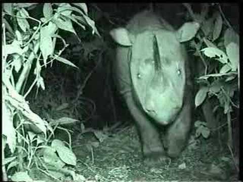 Sumatran Rhino (Borneo Subspecies) caught first time on Camera at Tabin Wildlife Reserve, Sabah.