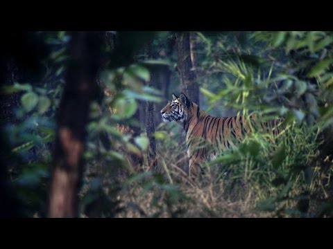 Tiger uses a storm to hunt Stag - The Hunt: Episode 3 preview - BBC One
