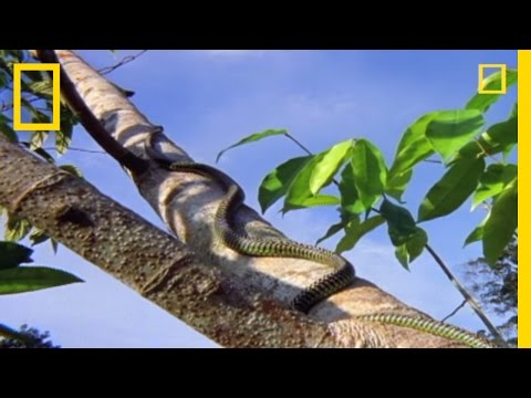 Flying Snake Hunts Leaping Lizard | National Geographic