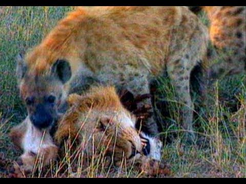 Lion king Becomes The Prey Of The Hyena clan