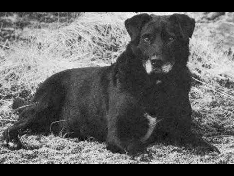St. John's Water Dog