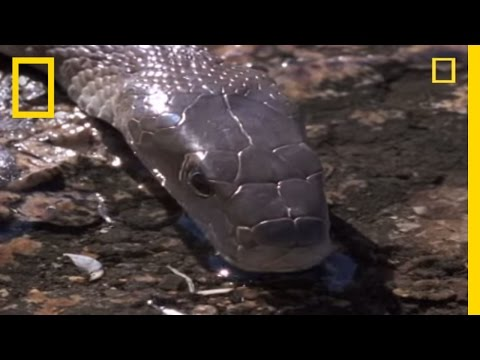 Black Mamba vs. The World | National Geographic