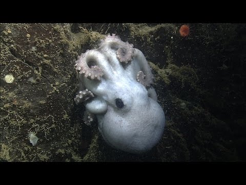 Octomom: Deep-sea octopus guards her eggs for over four years