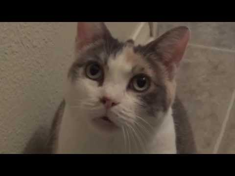 Calico cat won't stop meowing in the bathroom!