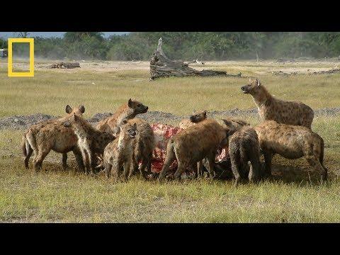 National Geographic | Hyenas Hunt Buffalo | BBC Documentary