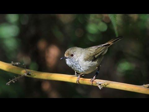 Brown thornbill mimics the hawk warning call to scare off predators
