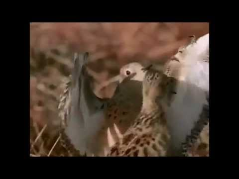 Mating ritual of the Buff Breasted Sandpiper