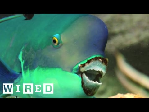 Absurd Creatures | This Fish Makes Hawaii's Beaches in an ... Interesting Way