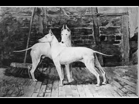 The English White Terrier