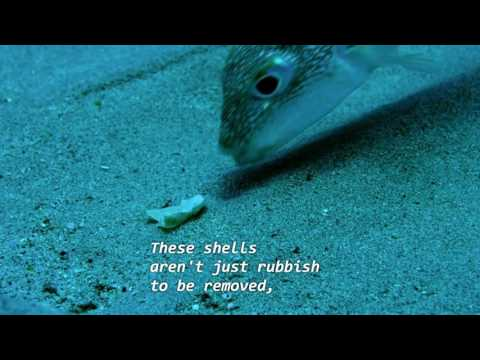 BBC-Earth , Life Story Ep05 - Courtship - Puffer Fish (From Netflix)