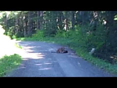 Mary's Peak Cougar Surprise