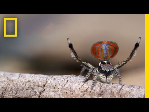 Amazing Peacock Spiders Perform a Fascinating Love Dance | National Geographic