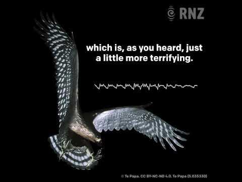 Pouakai - the sound of the Haast's Eagle