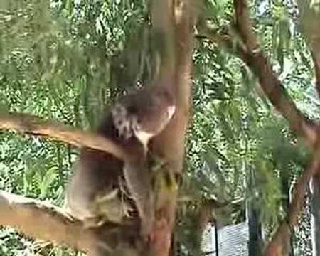 Koala grunting, South Australia