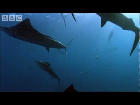 Sail Fish Hunting - BBC Planet Earth