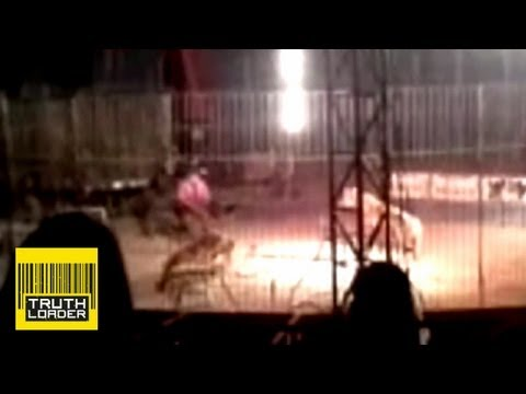 GRAPHIC VIDEO: Tiger mauls circus performer in Mexico - Truthloader