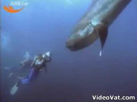 rare megamouth shark