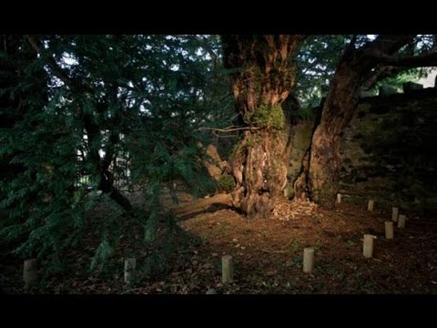 Myths & Legends of Great British Trees, The Toxic Yew Tree, Episode 1