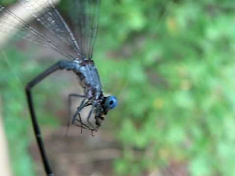 Damselfly eating a spider after being caught in its web.
