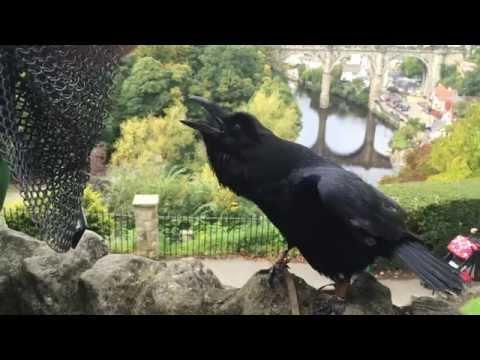 Amazing Talking And Singing Raven!