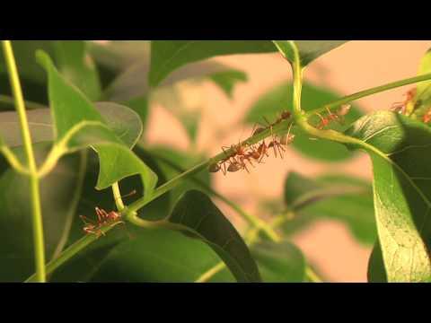Nesting behaviour of weaver ants