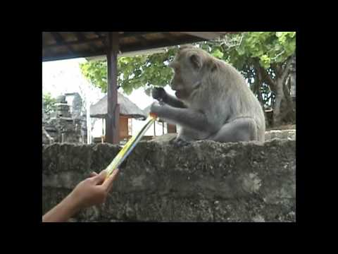 Long bartering in Balinese long-tailed macaques