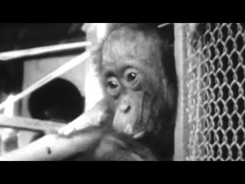 Attenborough Makes Friends with an Orangutan | Zoo Quest for a Dragon | BBC Earth