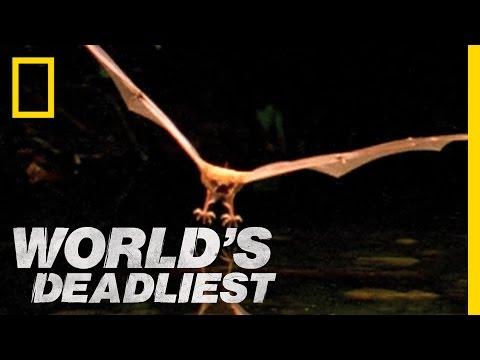 Fishing Bats | World's Deadliest