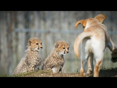 Why are there Labrador retrievers in this zoo's cheetah exhibit?