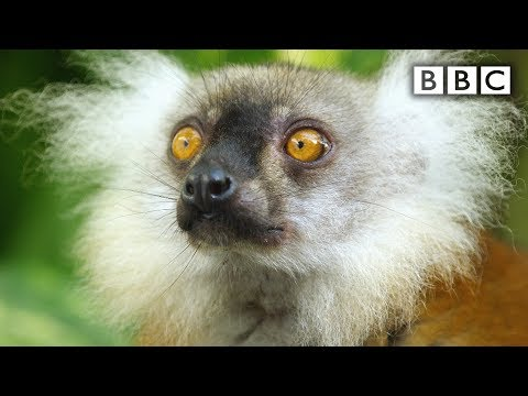 Lemurs get high | Spy in the Wild - BBC