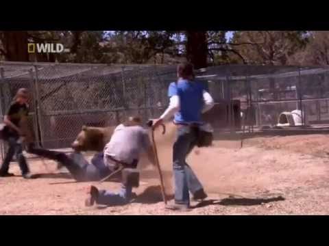 Bären-Angreifen Mann im Training, Grizzly bear killed a trainer