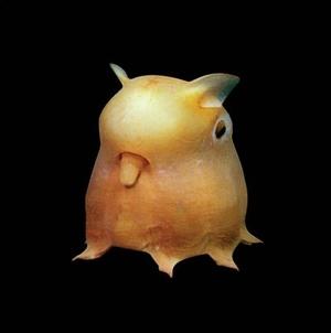 Dumbooctopus