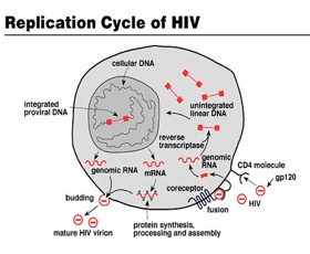 Hiv Cycle