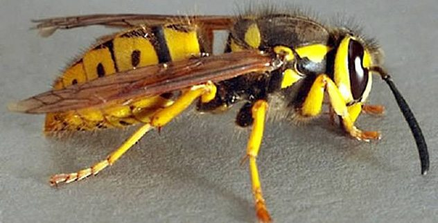 What Is The Difference Between A Yellow Jacket And A Wasp Top 10 Deadliest Insec...