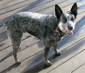 Stumpytailcattledog10Yearsshasta