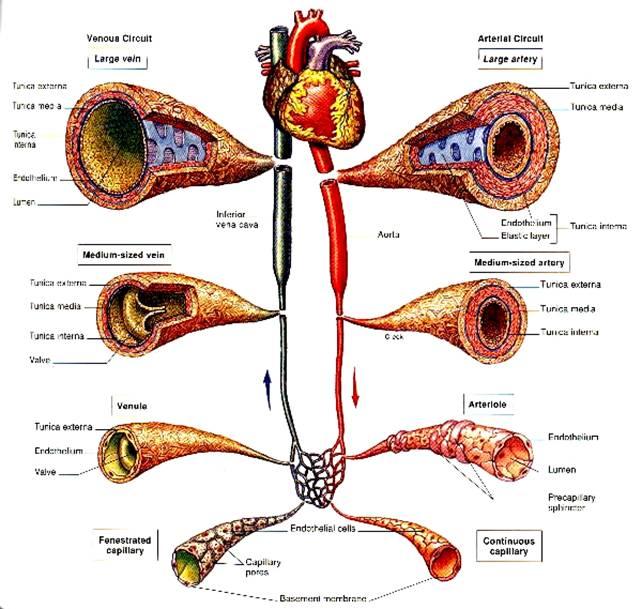 Weird anatomy facts