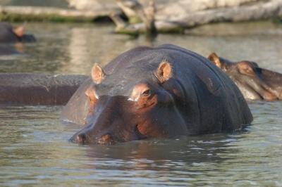 Hippo205