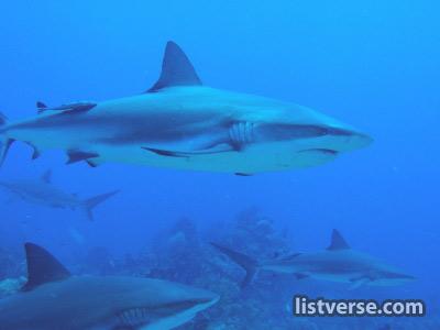 Sharksinvenice