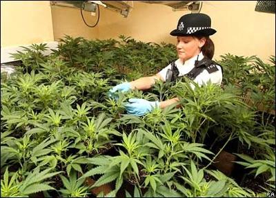 42128524 Cannabis Pa416