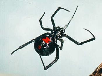 Blackwidowspider3
